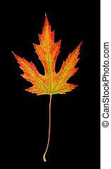 sentier, coupure, feuille, érable, automne