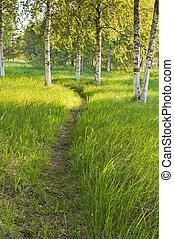 sentier, ensoleillé, forêt, bouleau