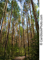 sentier, randonnée, forêt, pin