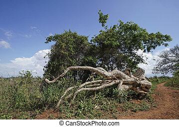 sentier, tronc arbre