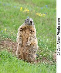 marmot standing as sentinel on a green meadow in italian alps