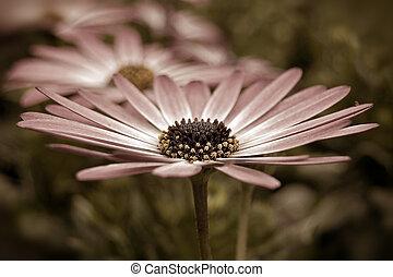 Sepia Daisy - Extreme close up of daisy in sepia tones.