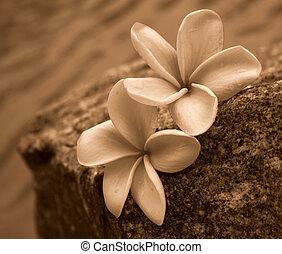 sepia, frangipanis