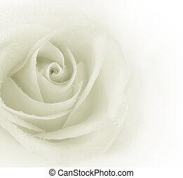sepia, róża, piękny