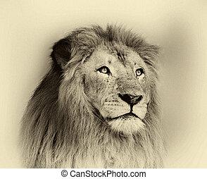 Sepia Toned Striking Lion Face Portrait - Sepia Toned Black ...