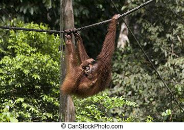 Sepilok Orang-utan - Orangutan mother in Sepilok Jungle...