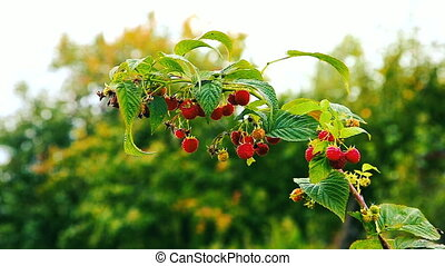 September branch of raspberry with red ripe berries