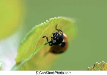 septempunctata,  coccinella
