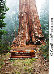 Seqoia - General Grant sequoia tree