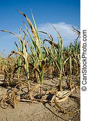 sequía, dañado, maíz