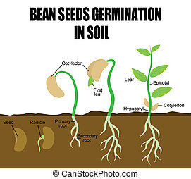 Sequence of bean seeds germination in soil, vector...