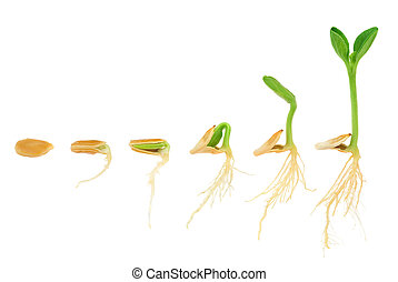 Sequence of pumpkin plant growing isolated, evolution...