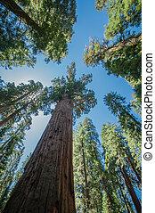 sequoia, blauwe hemel