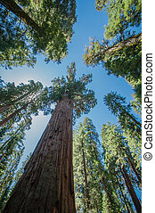 Sequoia blue sky - Sequoia national park california look...