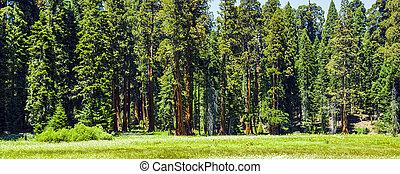 sequoia, bomen, in, de, bos