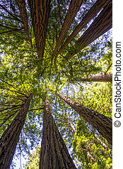 (sequoia,  California,  sempervirens), secoya