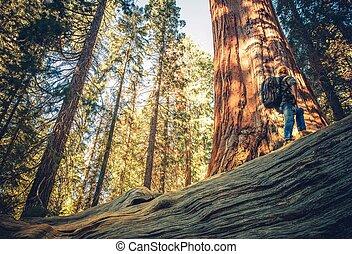 sequoia, explorar, floresta