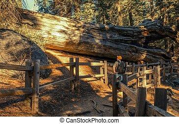 sequoia, explorar, gigante, bosque