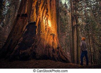 sequoia, explorar, gigante, floresta