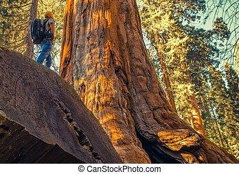 Sequoia Forest Exploration