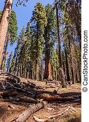 sequoia gigante, em, a, sherman, bosque