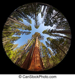 sequoia gigante, fisheye