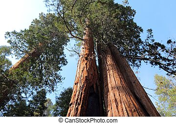 sequoia gigante, monumento nacional