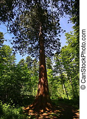 Sequoia in the environment of Sulz am Neckar