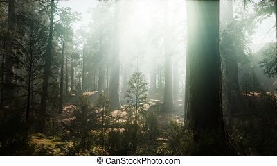 Sequoia National Park under the fog mist clouds fantasy. ...