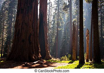 sequoia, nazionale, parco