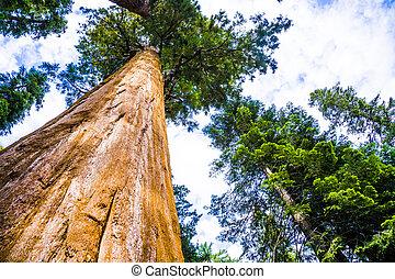 sequoia parco nazionale, con, vecchio, enorme, sequoia,...