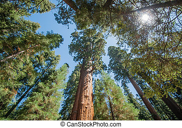 Sequoia park - Sequoia national park big trees look ahead