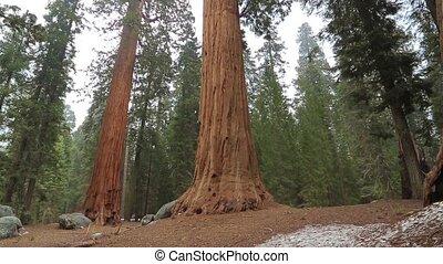 Sequoia redwood trees slow pan up. Giant Sequoia Tree in...