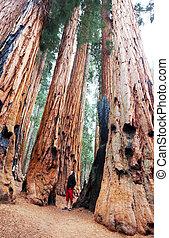 Sequoia - sequoia