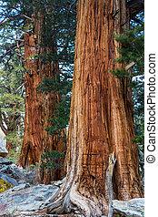 Sequoia - sequoia trees in Sierra Nevada...
