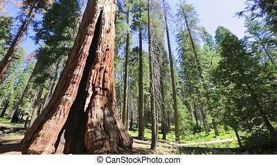 close up of sequoia tree in Sequoia National Park tree in the Sierra Nevada in California, United States of America. Sequoia NP is famous for its large amount of largest sequoia trees in the world.