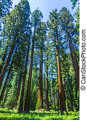sequoia tree in the forest - Sequoia national Park with old...