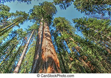 Sequoia trees from down below in the Sequoia National forest.