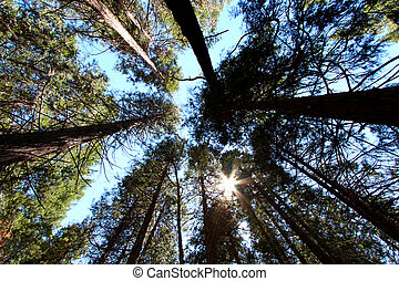 Sequoia trees from down below