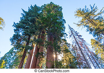Sequoia Trees in Sequoia and Kings Canyon National Park, California