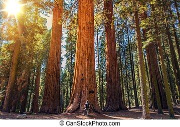 sequoia, vs, homem