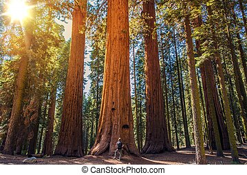 Sequoia vs Man. Giant Sequoias Forest and the Tourist with...