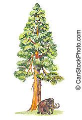 sequoiadendron, (mammoth, tree)