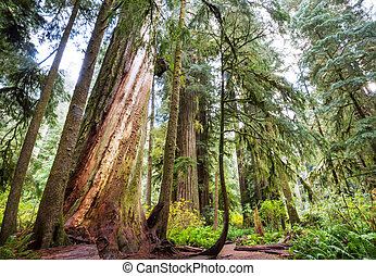 Sequoias forest in summer season