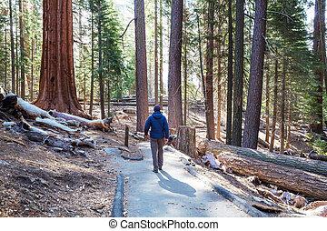 Sequoias forest in summer season