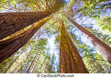 Sequoias in California view from below