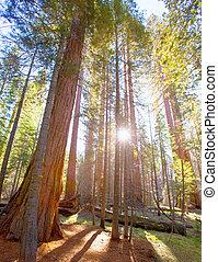 sequoias, in, mariposa boomgaard, op, yosemite nationaal...