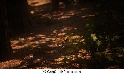 sequoias, mariposa, утро, солнечный лучик, лесок, рано