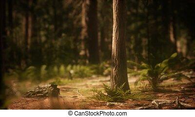 sequoias, mariposa boomgaard, vroege morgen, zonlicht