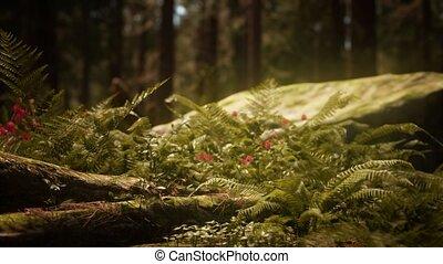 sequoias, morgen, zonlicht, mariposa boomgaard, vroeg